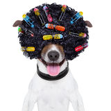 Crazy curly hair dog royalty free stock photo