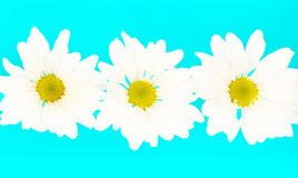 Crazy Daisies. Stylized daisies on a neon blue background royalty free stock photography