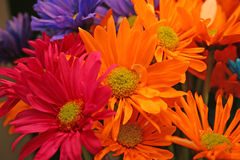 Crazy Daisies. Colorful Dasies Stock Photography