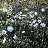 Crazy daisies in the wind stock photography