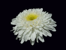 Crazy Daisy. With a black background royalty free stock images