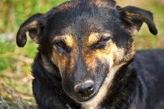 Crazy dog. A crazy old black dog Royalty Free Stock Photos