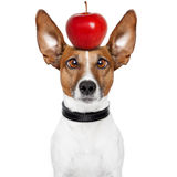 Crazy dog with big lazy eyes. And an apple royalty free stock images