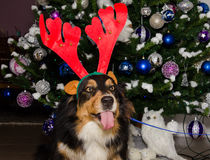Crazy dog dress a Christmas reindeer horns Royalty Free Stock Photography