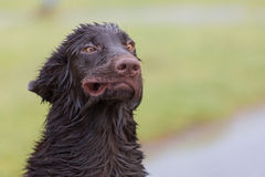 Crazy Dog. Flat Coated Retriever blown like the wind Royalty Free Stock Photos