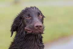 Crazy Dog. Flat Coated Retriever blown like the wind Royalty Free Stock Images