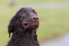 Crazy Dog. Flat Coated Retriever blown like the wind Royalty Free Stock Image
