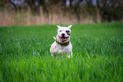 Crazy dog. Running in the thick grass in the meadow Royalty Free Stock Photography