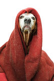 Crazy emperor dog Royalty Free Stock Image