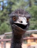 Crazy Emu. With open mouth Royalty Free Stock Photos