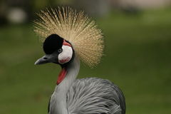 Crazy,exotic bird in Hawaii. Exotic bird in Hawaii with crazy hairdo stock images
