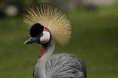 Crazy,exotic bird in Hawaii. Exotic bird in Hawaii with crazy hairdo Stock Images