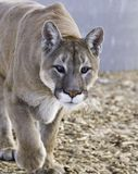 Crazy Eyed Cougar Stock Images