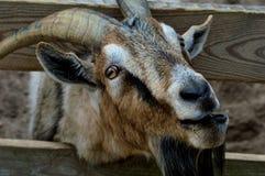 Crazy Eyed Goat Stock Image