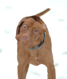 Crazy Eyes. Hilarious picture of dogs shaking his head royalty free stock photography
