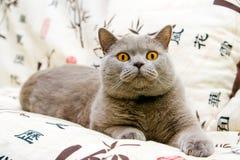 Crazy Eyes. Closeup british cat with orange eyes staring at something Stock Photo