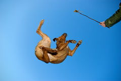 Crazy flying dog Stock Image