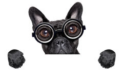 Crazy french bulldog with banner Stock Images