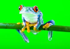 Crazy frog royalty free stock photos
