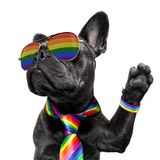 Gay pride dog. Crazy funny gay french bulldog  dog proud of human rights ,sitting and waiting, with rainbow flag tie  and sunglasses , isolated on white royalty free stock photography