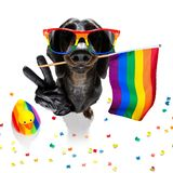 Gay pride dog. Crazy funny gay homosexual  dachshund sausage dog proud of human rights ,sitting and waiting, with rainbow flag tie  and sunglasses , isolated on stock images