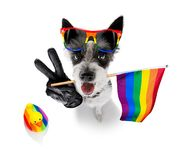 Gay pride dog. Crazy funny gay homosexual  poodle terrier dog proud of human rights ,sitting and waiting, with rainbow flag tie  and sunglasses , cheers with stock image