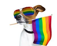 Gay pride dog. Crazy funny  jack russell gay dog  proud of human rights ,sitting and waiting, with rainbow flag   and sunglasses , isolated on white background royalty free stock photos