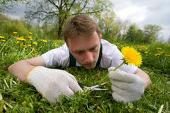 Crazy Gardener. Young gardener is cutting a single flower stock image