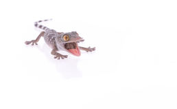 Crazy gecko Stock Images