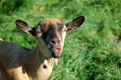 Crazy goat Royalty Free Stock Image