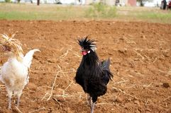 Pair of white and black Polish crested roosters with crazy hairdos stock photo