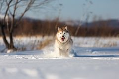Crazy, happy and beautiful beige and white dog breed siberian husky running on the snow in the winter field. Crazy, happy and beautiful beige and white dog breed royalty free stock images