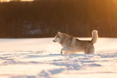 Crazy, happy and cute beige and white dog breed siberian husky running on the snow in the winter field at golden sunset. Portrait of Crazy, happy and cute beige royalty free stock image