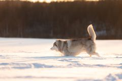 Crazy, happy and cute beige and white dog breed siberian husky running on the snow in the winter field at golden sunset. Portrait of Crazy, happy and cute beige stock photo