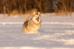 Crazy, happy and cute beige and white dog breed siberian husky running on the snow in the winter field. Portrait ofcrazy, happy and cute beige and white dog royalty free stock photography