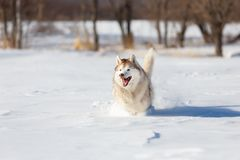 Crazy, happy and cute beige and white dog breed siberian husky with tonque out running on the snow in the winter field. Crazy, happy and cute beige and white dog royalty free stock photography