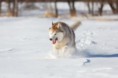 Crazy, happy and cute beige and white dog breed siberian husky with tonque out running on the snow in the winter field. Crazy, happy and cute beige and white dog royalty free stock image