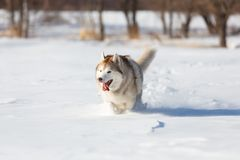 Crazy, happy and cute beige and white dog breed siberian husky with tonque out running on the snow in the winter field. Crazy, happy and cute beige and white dog stock photos