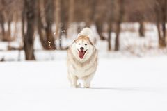 Crazy, happy and free beige and white dog breed siberian husky with tonque out running on the snow in the winter field. Crazy, happy and free beige and white dog stock photography
