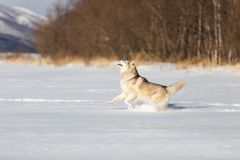Crazy, happy and free beige and white dog breed siberian husky with tonque out running on the snow in the winter field. Crazy, happy and free beige and white dog stock photo