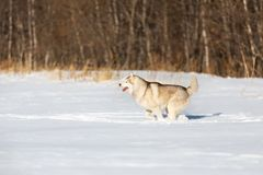 Crazy, happy and free beige and white dog breed siberian husky with tonque out running on the snow in the winter field. Crazy, happy and free beige and white dog stock image