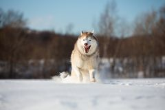 Crazy, happy and funny beige and white dog breed siberian husky with tonque out running on the snow in the winter field. Crazy, happy and funny beige and white stock photo