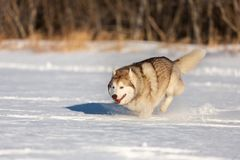 Crazy, happy and funny dog breed siberian husky with tonque out jumping and running on the snow in the winter field stock image