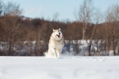 Crazy, happy and funny beige and white dog breed siberian husky with tonque out running on the snow in the winter field. Crazy, happy and funny beige and white royalty free stock images