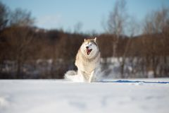 Crazy, happy and funny beige and white dog breed siberian husky with tonque out running on the snow in the winter field. Crazy, happy and funny beige and white stock photography