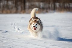 Crazy, happy and funny beige and white dog breed siberian husky with tonque out running on the snow in the winter field. Crazy, happy and funny beige and white royalty free stock photography