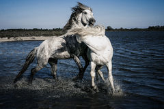 Crazy Horses. Two white stallions reaing up and fighting each other in water Stock Photo