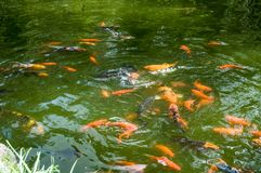 Crazy koi fishes and green water stock photos