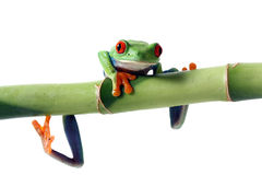 Crazy Legs. Red-Eyed Tree Frog hanging from Bamboo and isolated on white background Stock Photo