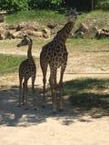 Crazy long giraffe necks Royalty Free Stock Images